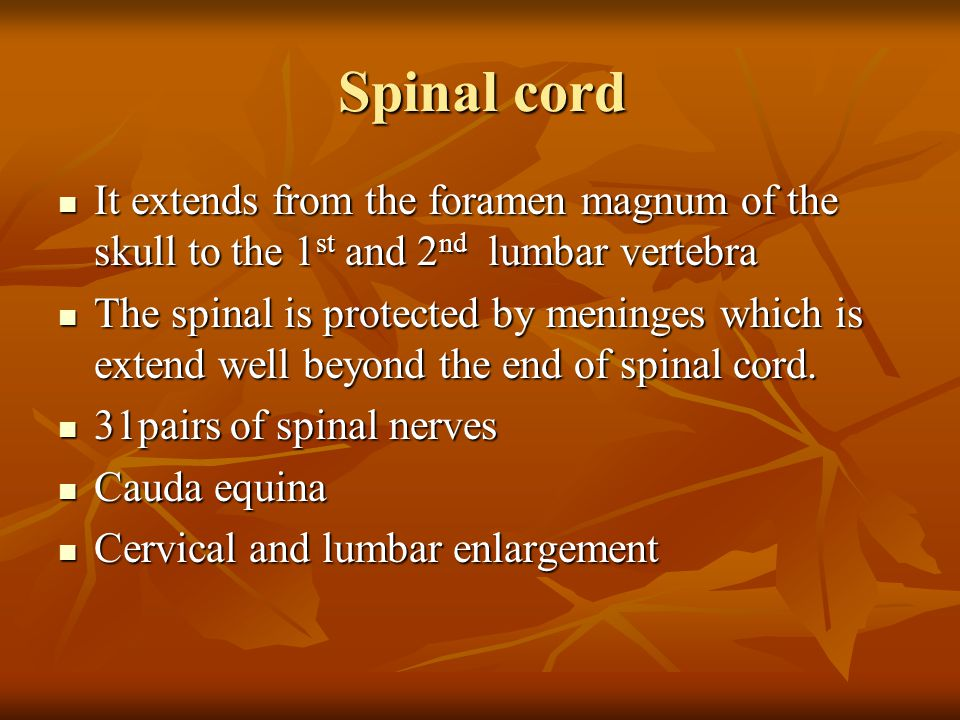 Spinal cord It extends from the foramen magnum of the skull to the 1st and 2nd lumbar vertebra.