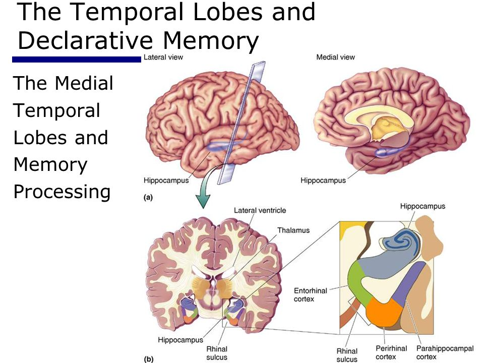 The Temporal Lobes and Declarative Memory
