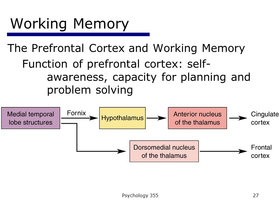 Working Memory The Prefrontal Cortex and Working Memory