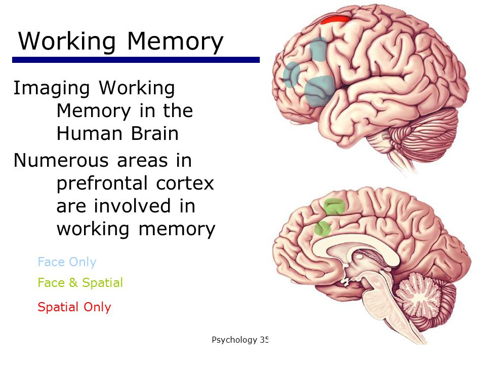 Working Memory Imaging Working Memory in the Human Brain