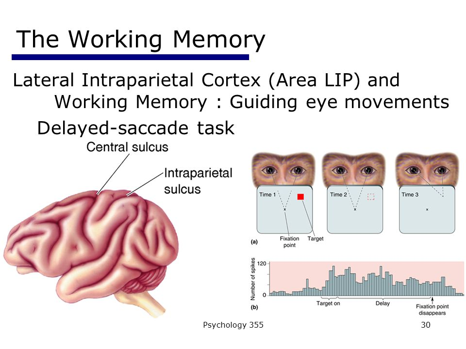 The Working Memory Lateral Intraparietal Cortex (Area LIP) and Working Memory : Guiding eye movements.