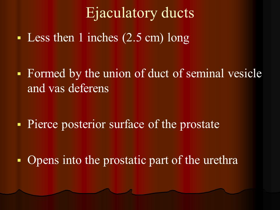 Ejaculatory ducts Less then 1 inches (2.5 cm) long