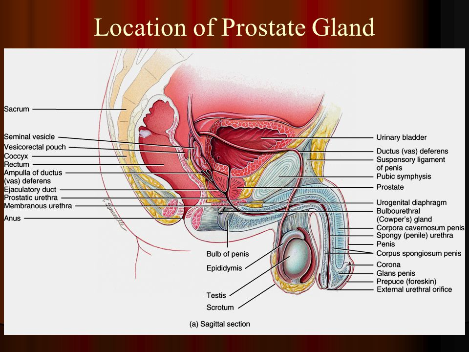 Location of Prostate Gland