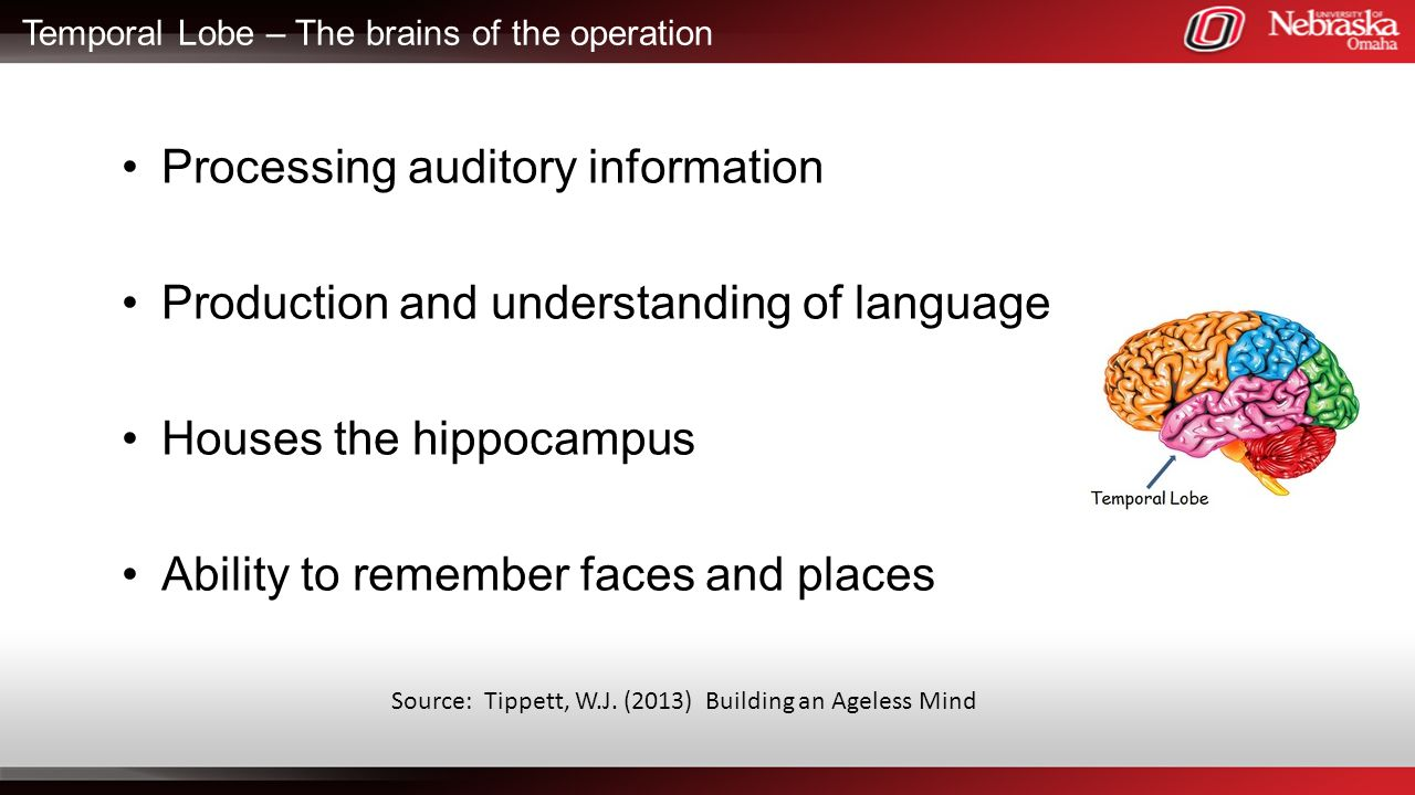 Temporal Lobe – The brains of the operation
