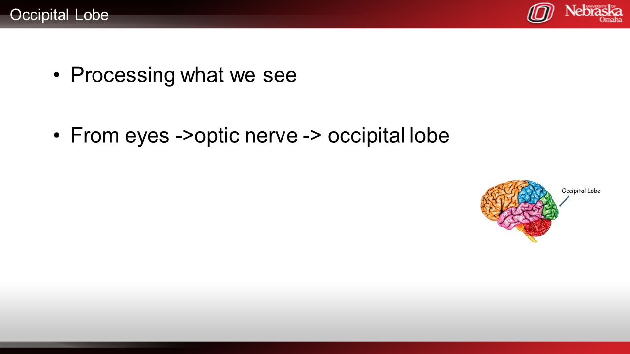 From eyes ->optic nerve -> occipital lobe