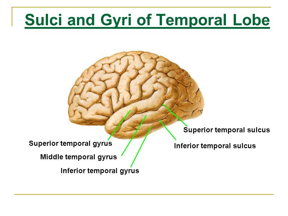 Sulci and Gyri of Temporal Lobe