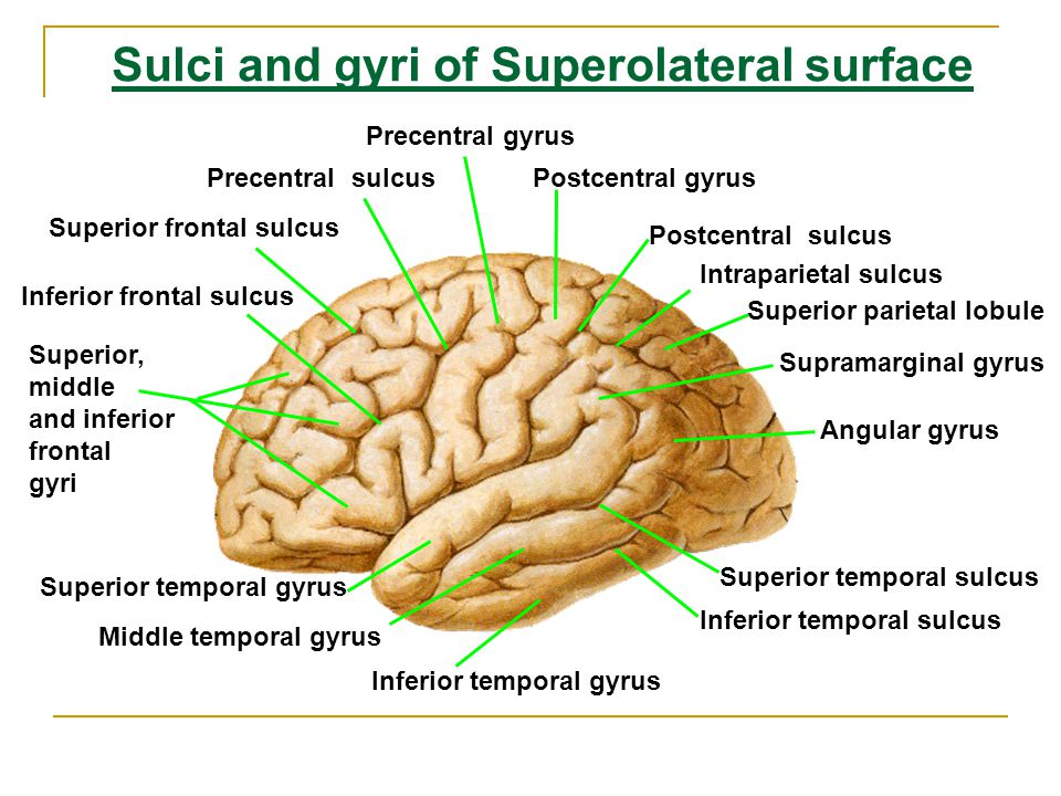 Sulci and gyri of Superolateral surface