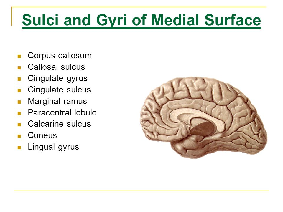 Sulci and Gyri of Medial Surface
