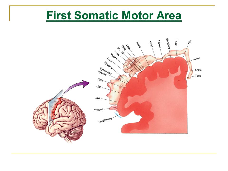 First Somatic Motor Area