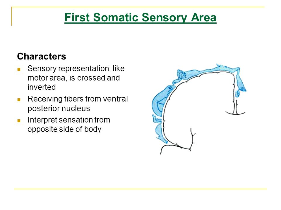 First Somatic Sensory Area
