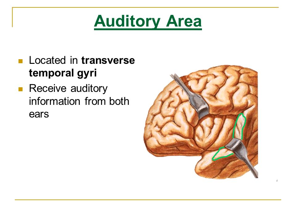 Auditory Area Located in transverse temporal gyri