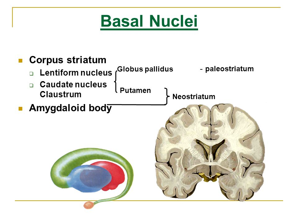 Basal Nuclei Corpus striatum Amygdaloid body Lentiform nucleus