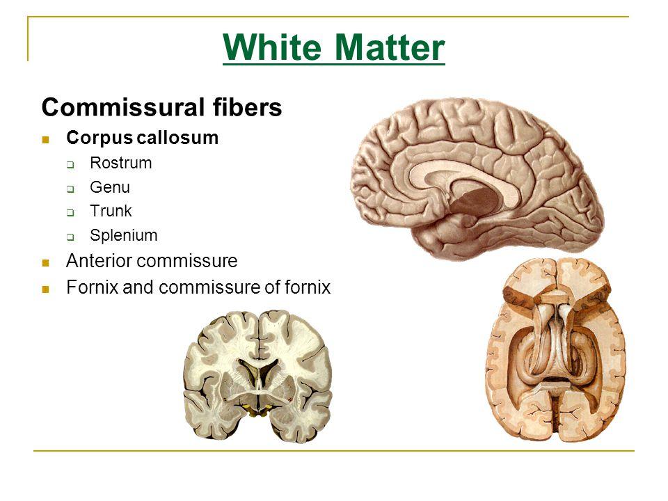 White Matter Commissural fibers Corpus callosum Anterior commissure