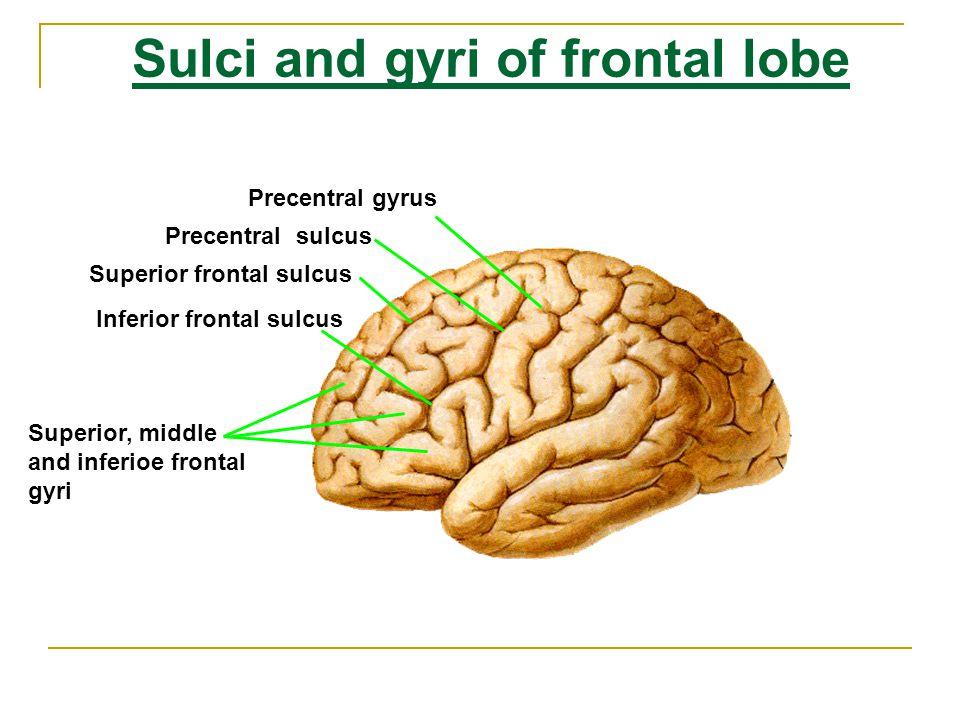 Sulci and gyri of frontal lobe