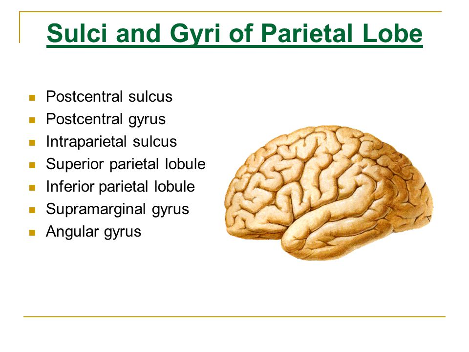 Sulci and Gyri of Parietal Lobe