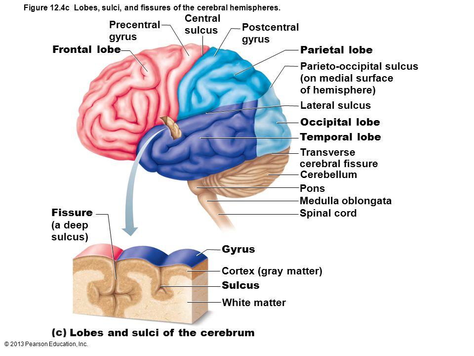 Parieto-occipital sulcus (on medial surface of hemisphere)