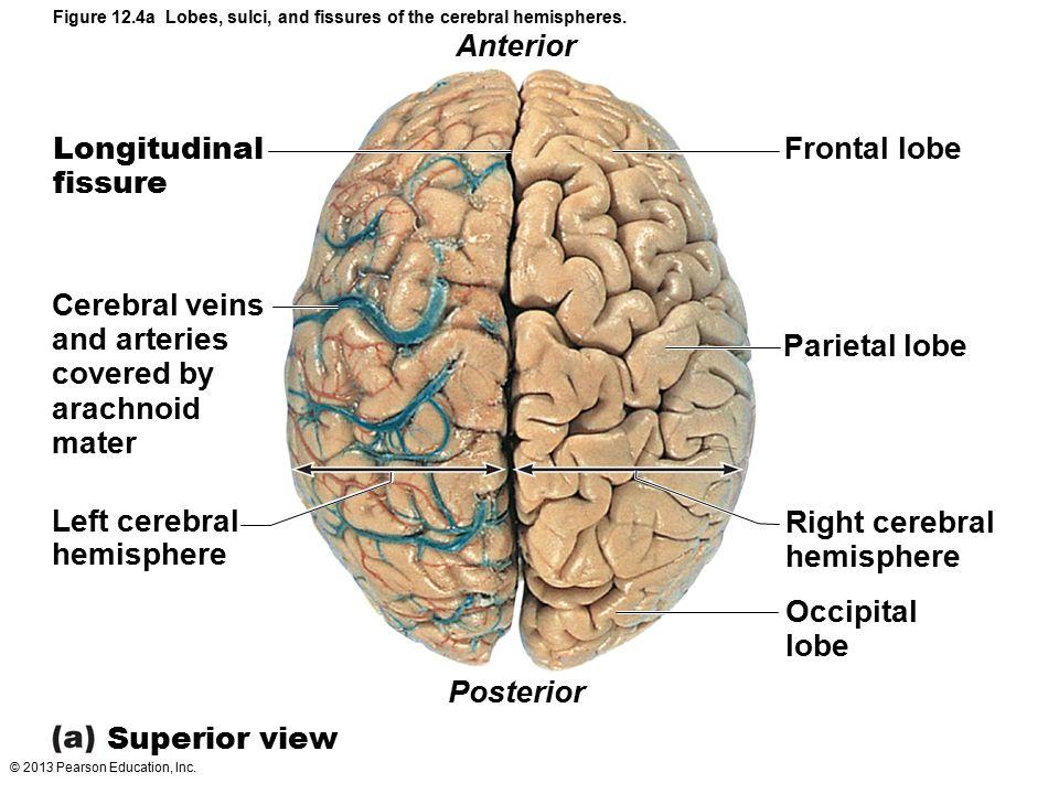 Anterior Longitudinal fissure Frontal lobe Cerebral veins and arteries