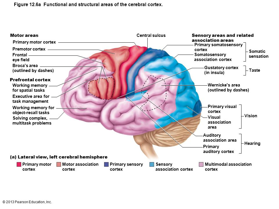 Figure 12.6a Functional and structural areas of the cerebral cortex.
