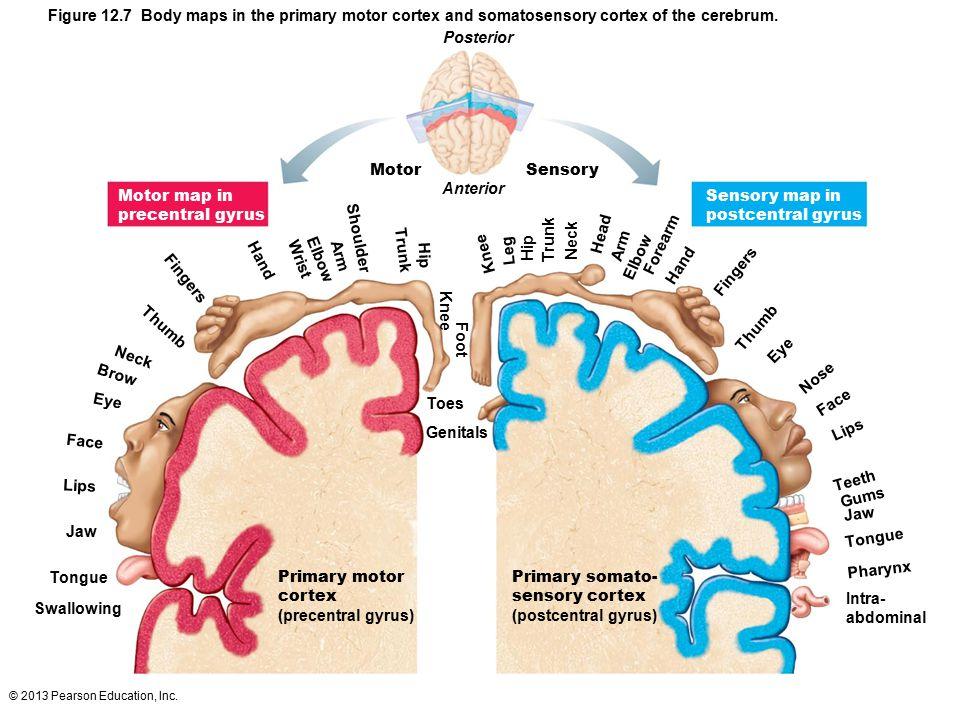 Figure 12.7 Body maps in the primary motor cortex and somatosensory cortex of the cerebrum.
