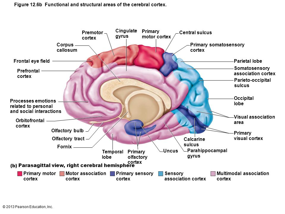 Figure 12.6b Functional and structural areas of the cerebral cortex.