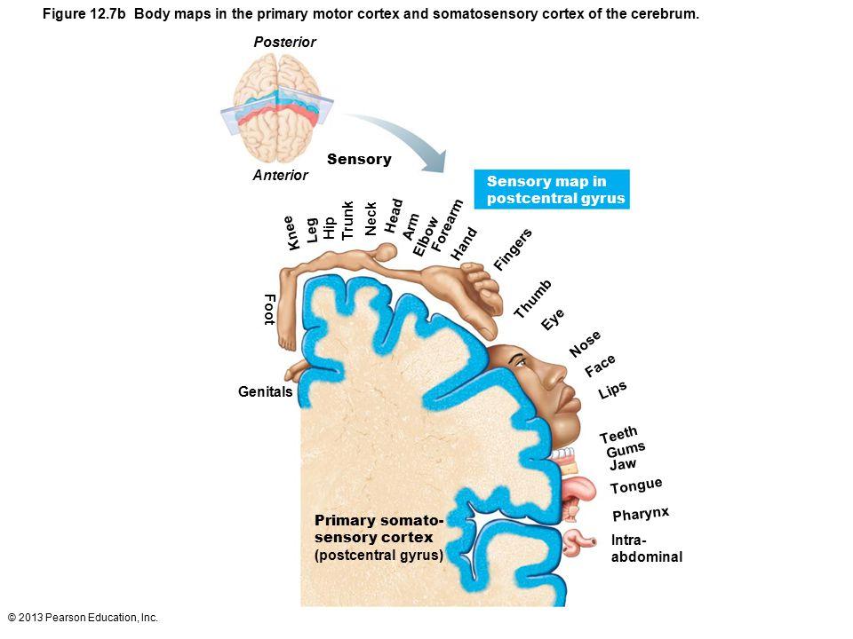 Figure 12.7b Body maps in the primary motor cortex and somatosensory cortex of the cerebrum.