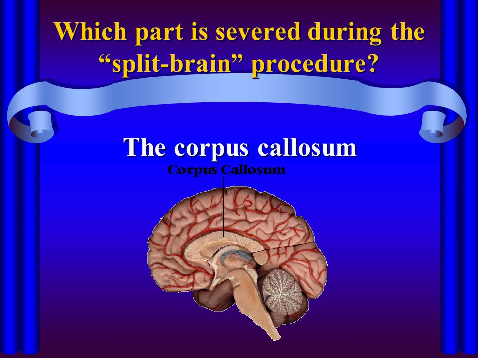 Which part is severed during the split-brain procedure