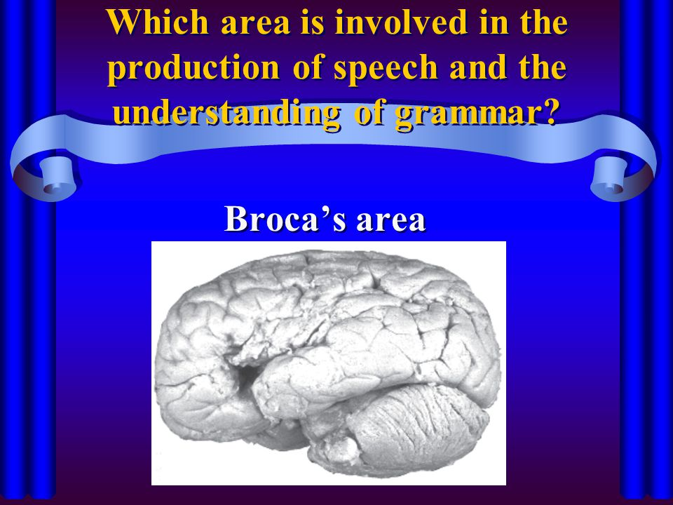 Which area is involved in the production of speech and the understanding of grammar