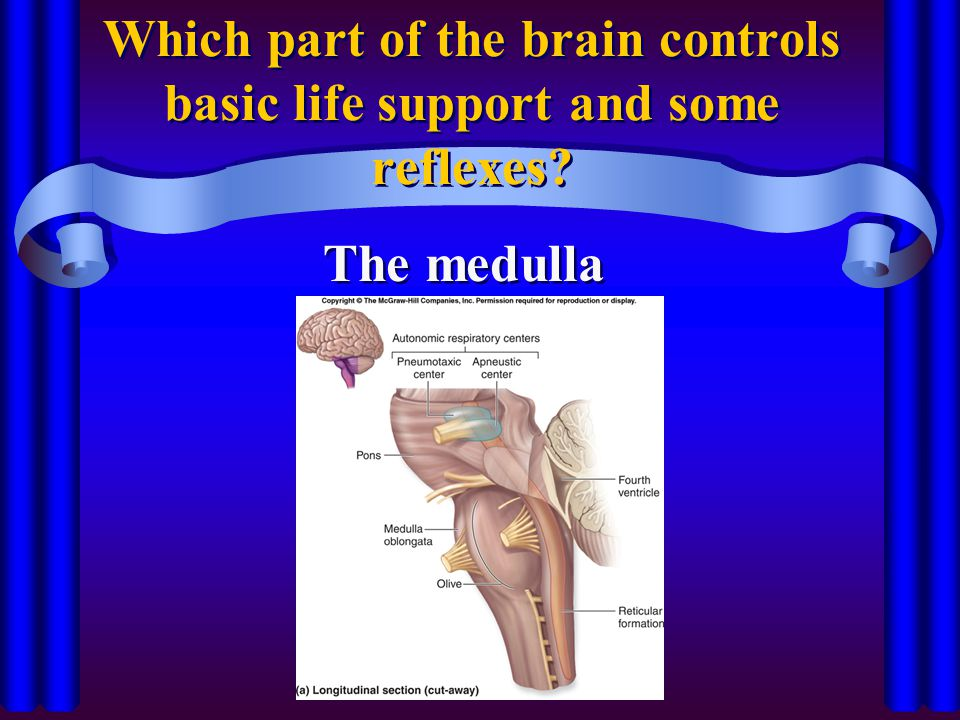 Which part of the brain controls basic life support and some reflexes