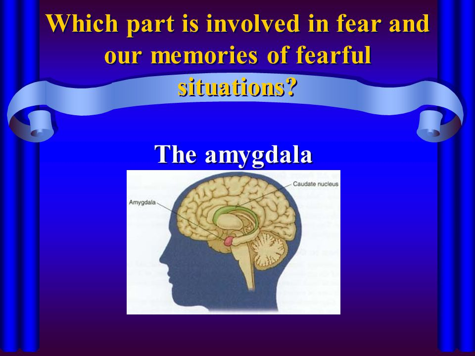 Which part is involved in fear and our memories of fearful situations