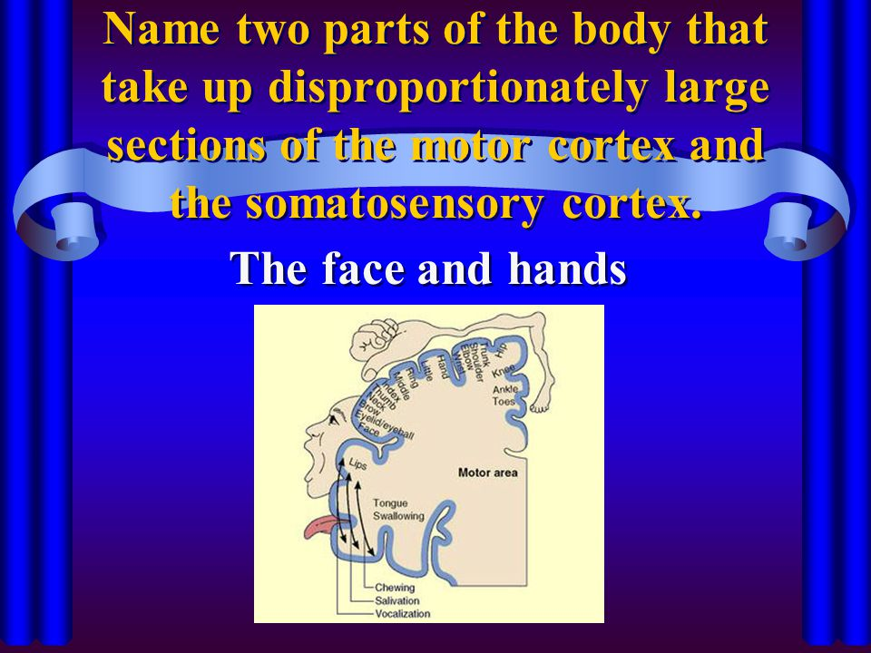 Name two parts of the body that take up disproportionately large sections of the motor cortex and the somatosensory cortex.