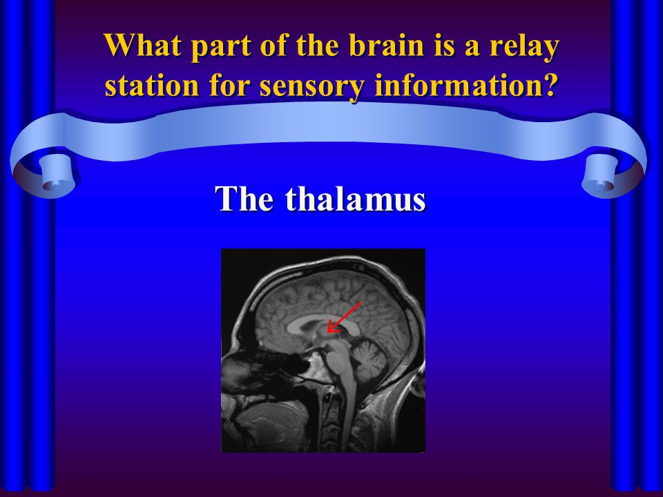 What part of the brain is a relay station for sensory information