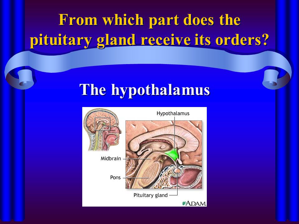From which part does the pituitary gland receive its orders