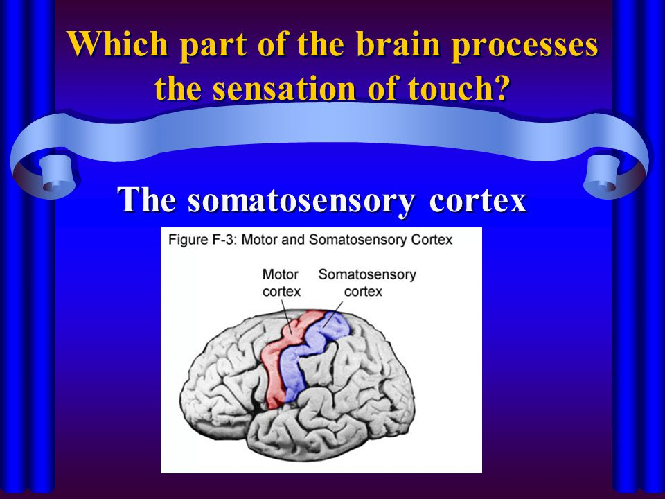 Which part of the brain processes the sensation of touch