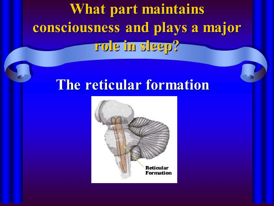 What part maintains consciousness and plays a major role in sleep