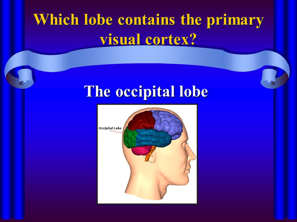 Which lobe contains the primary visual cortex