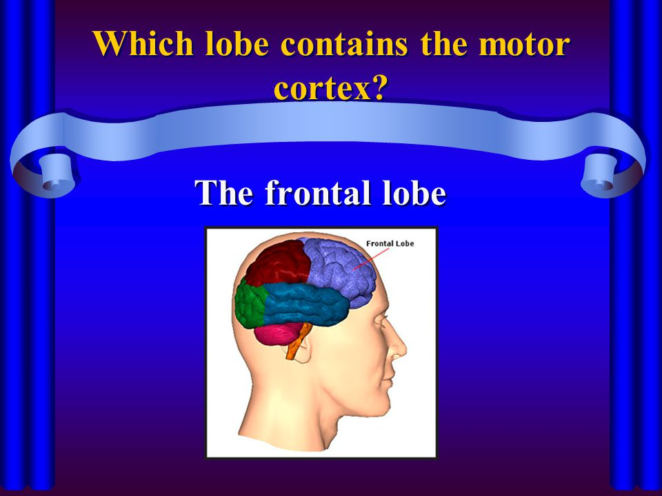 Which lobe contains the motor cortex