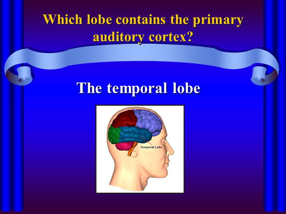 Which lobe contains the primary auditory cortex