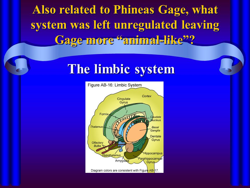 Also related to Phineas Gage, what system was left unregulated leaving Gage more animal-like