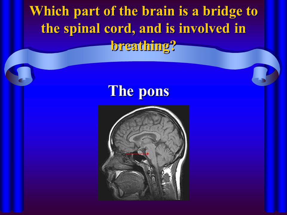 Which part of the brain is a bridge to the spinal cord, and is involved in breathing