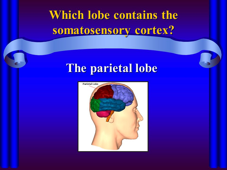 Which lobe contains the somatosensory cortex