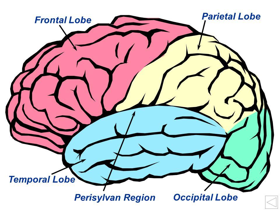 Parietal Lobe Frontal Lobe Temporal Lobe Perisylvan Region Occipital Lobe