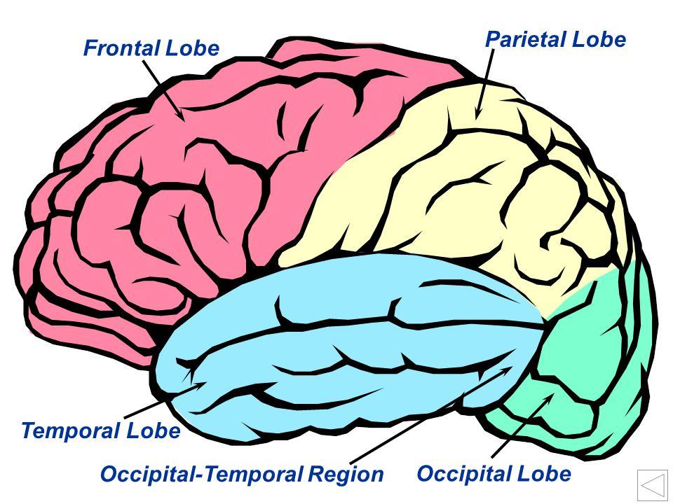 Parietal Lobe Frontal Lobe Temporal Lobe Occipital-Temporal Region Occipital Lobe
