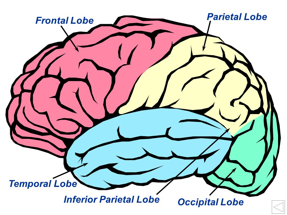 Parietal Lobe Frontal Lobe Temporal Lobe Inferior Parietal Lobe Occipital Lobe