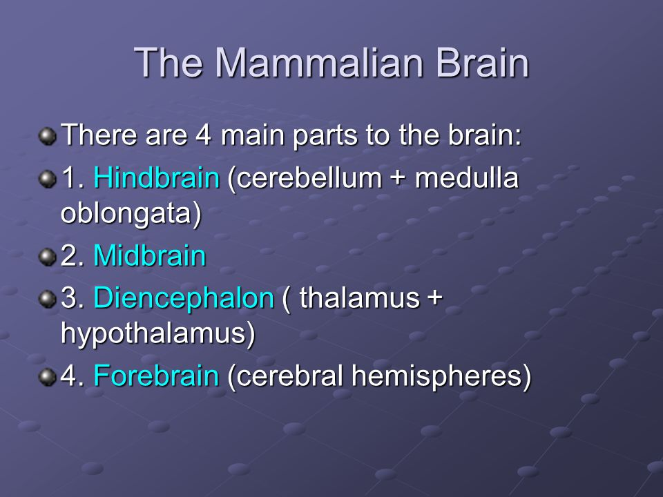 The Mammalian Brain There are 4 main parts to the brain: