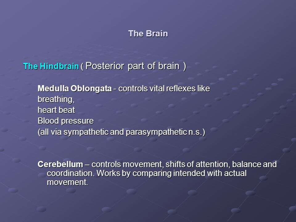 The Brain The Hindbrain ( Posterior part of brain )