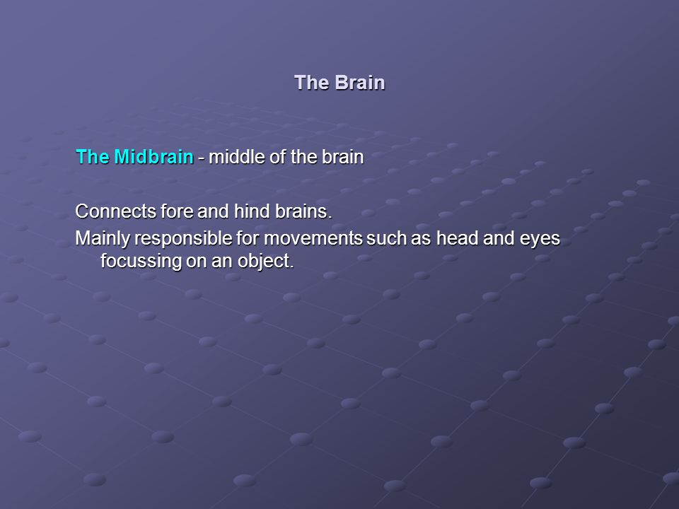 The Brain The Midbrain - middle of the brain
