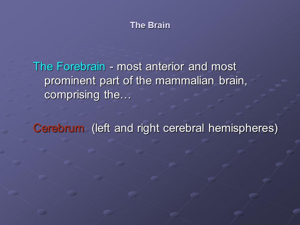 Cerebrum (left and right cerebral hemispheres)