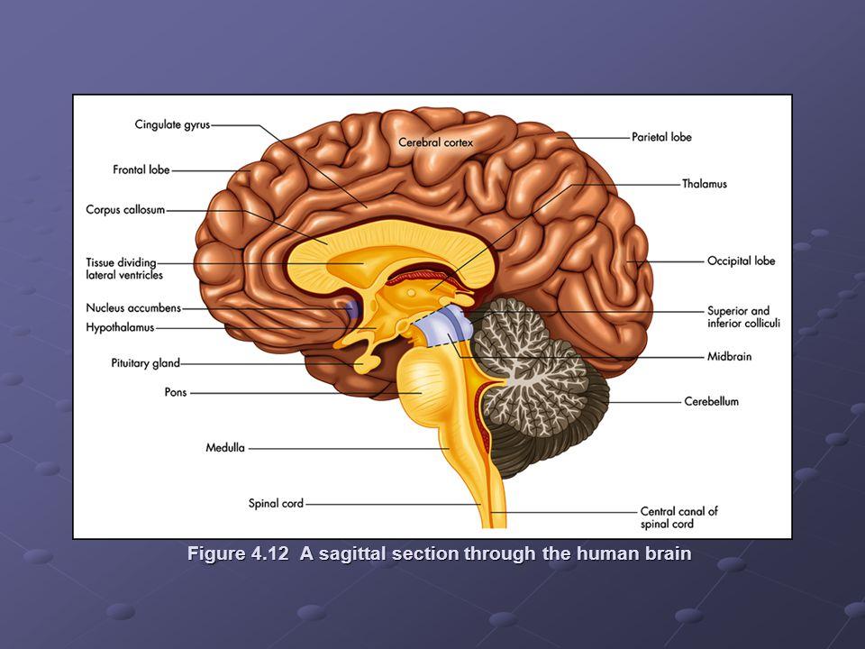Figure 4.12 A sagittal section through the human brain