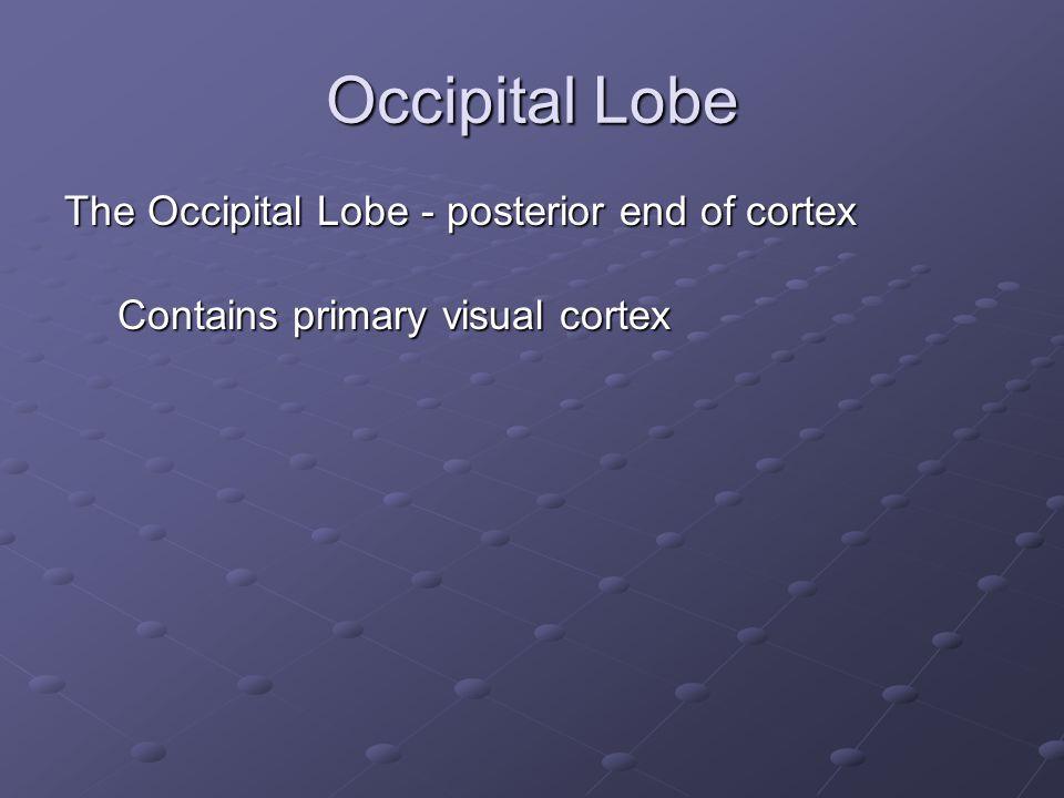 Occipital Lobe The Occipital Lobe - posterior end of cortex