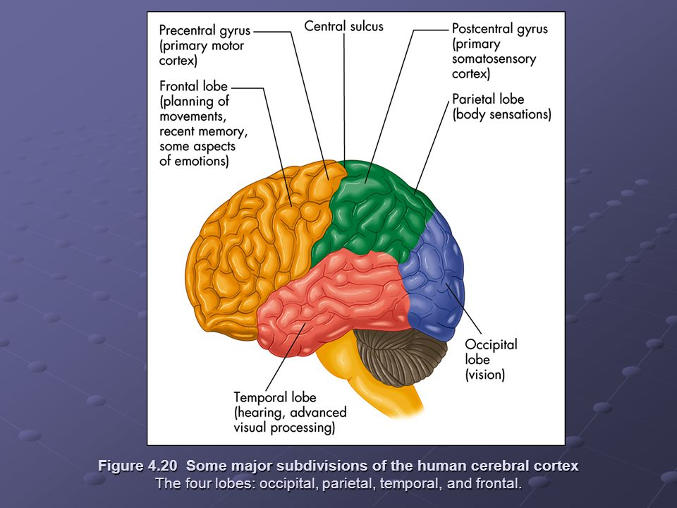 Figure 4.20 Some major subdivisions of the human cerebral cortex The four lobes: occipital, parietal, temporal, and frontal.